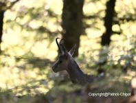 images/chamois/chamois-02-17-aout-2014 copie.jpg